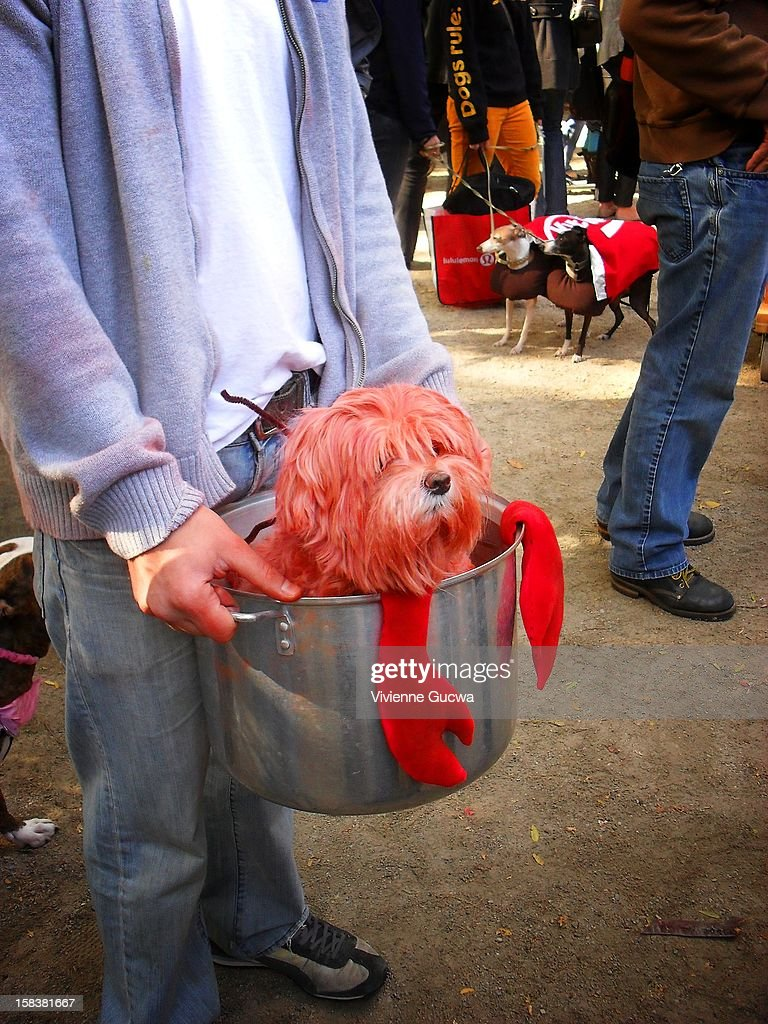 This is a dog in a Halloween Costume at the annual Tompkins Square Park Halloween Dog Parade in New York City. It was taken in 2010 and features a dog in a large pot who has been dyed red to look like a lobster complete with lobster claws.