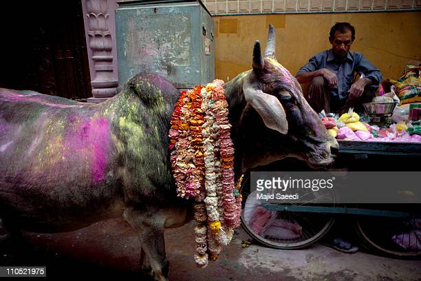 This is a holy cow passing by in the Holi celebration Holi is one of the oldest festivals of India It is celebrated by people throwing coloured...