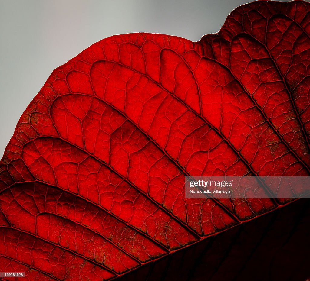 CONTENT] This is a macro shot of Red Poinsettia with leaf-veins in macro details. The red blooms of the poinsettia are bracts (modified leaves), not flowers.