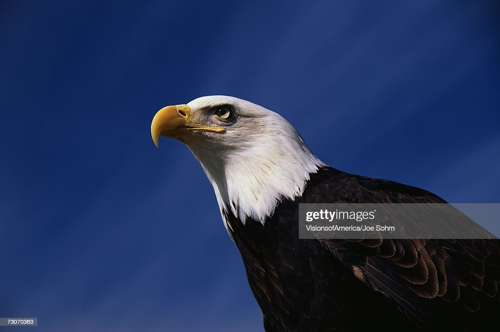 'This is a mature American bald eagle from the National Foundation to Protect America's Eagles. His name is Challenger. It shows his upper body with his head and beak facing left, looking out.' : Stock Photo