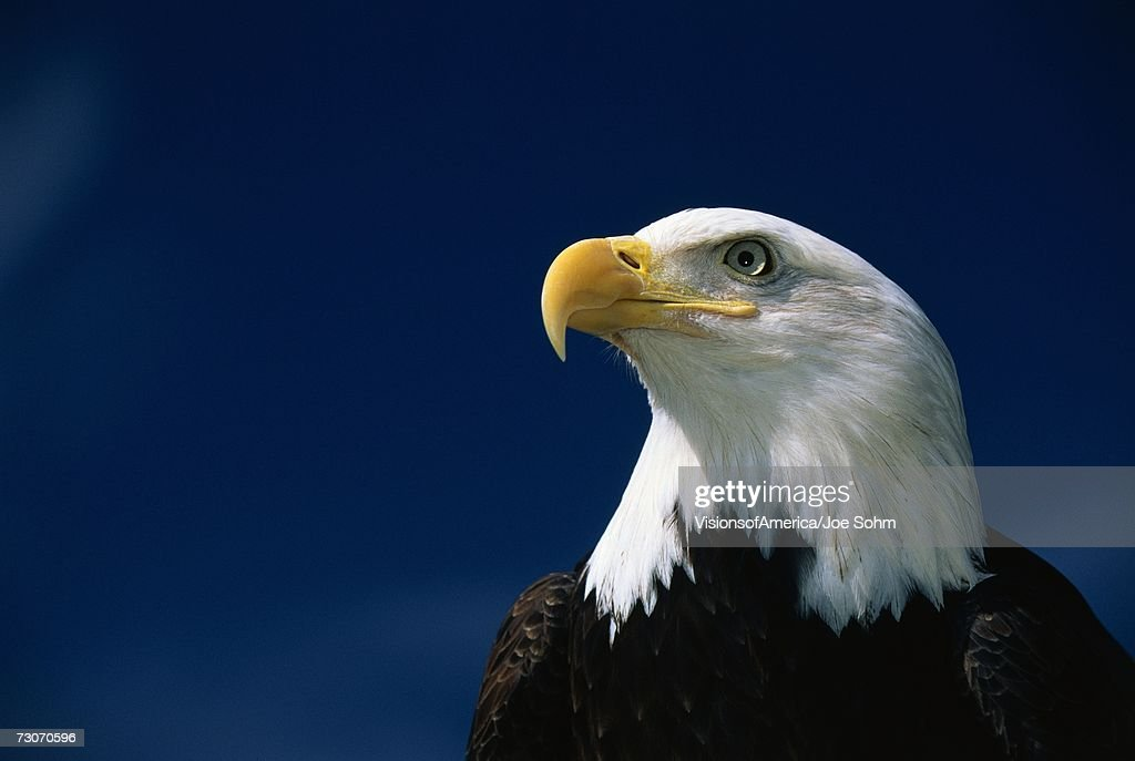 'This is a mature American bald eagle from the National Foundation to Protect America's Eagles. His name is Challenger. It shows his upper body with his head and beak facing left, looking out.'