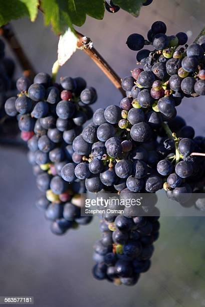 This is for the Calendar WKND section where photographs dominate People are growing wine grapes in their backyards then bottling the wine they...