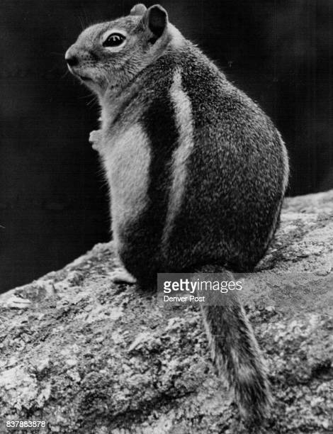 This little chipmunk perched on a rock in Golden Gate State Park may be overweight but he's no fool He knows the frigid blasts and heavy snows of...