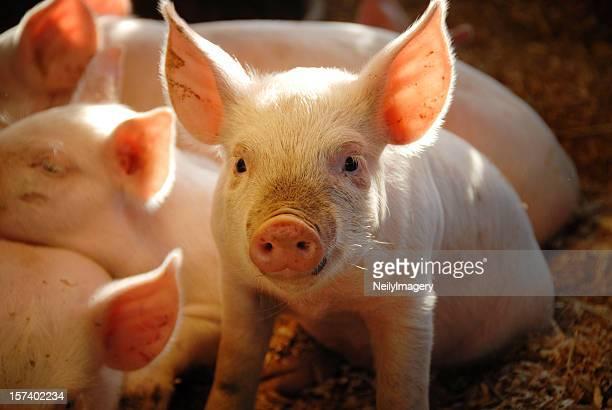 Dieser kleine Piggie.