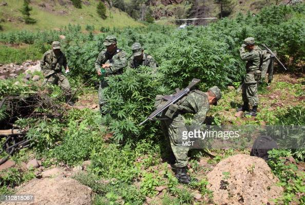 This marijuanafilled mountain valley near where the Mexican states of Chihuahua Sinaloa and Durango meet is known as the Golden Triangle Farmers grow...