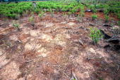 This photo shows a fumigated coca field February 25 2001 in Cao Perdido Colombia Several governors from southern Colombian states have asked for an...