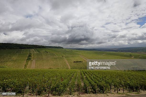 This photo shows Chablis designated first vintage vineyards of 'Montee de Tonnerre' in Chablis after they were damaged by a violent overnight hail on...