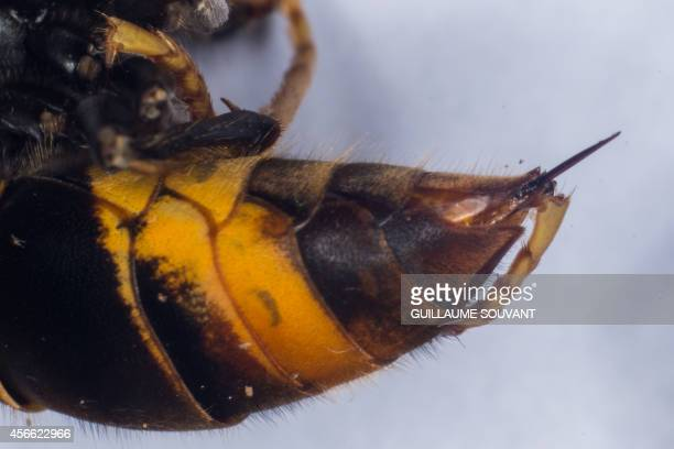 This photo shows the sting of a Asian Hornet on September 30 2014 at the Research Institute of Biology of the Insect in Tours central France The...