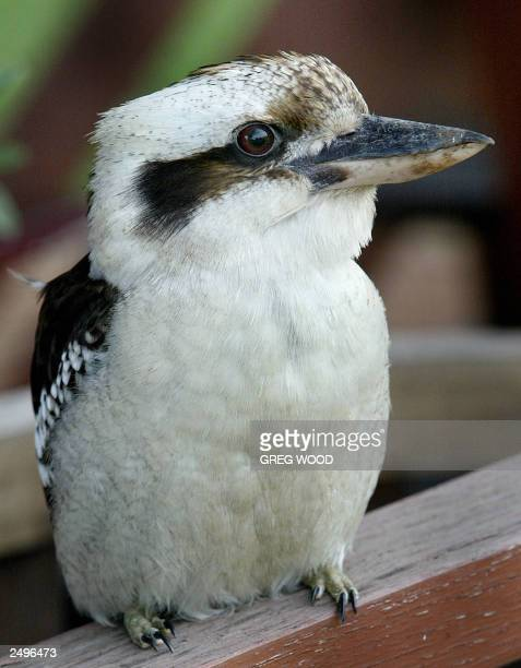 This photo taken 17 August 2003 shows a Kookaburra sitting on a railing at the Pepper Tree winery in the Hunter Valley Australia's oldest wine...