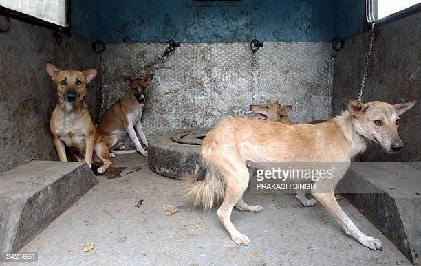 This photo taken 19 June 2003 shows captured stray dogs during a sterilization and antirabies vaccination operation in New Delhi A stray dog went on...