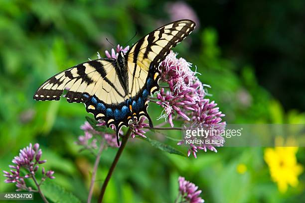 This photo taken August 9 2014 shows an Eastern Tiger Swallowtail along Skyline Drive in the Shenadoah National Park in Virginia Eastern Tiger...