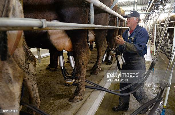 This photo taken on August 11 2013 shows a farmer at milking time in the cowshed on a dairy farm near Cambridge in New Zealand's Waikato region known...