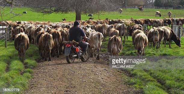This photo taken on August 11 2013 shows a farmhand herding cows to the milking shed on a dairy farm near Cambridge in New Zealand's Waikato region...