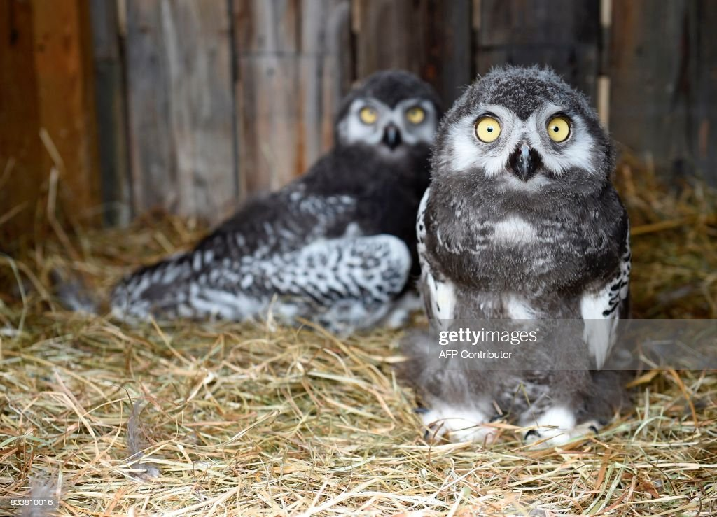This photo taken on August 17, 2017 shows newborn snowy owls at the zoological park in Amneville, eastern France. /