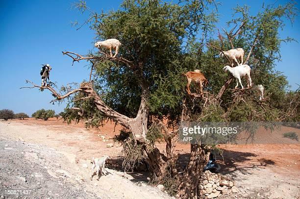 This photo taken on August 26 shows goats climbing up an Argan tree to its fruit near Essaouira AFP PHOTO FADEL SENNA