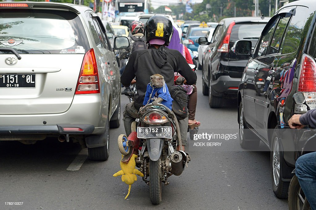 This photo taken on August 28, 2013 shows a circus monkey (C) riding on the back of a motorcycle in Jakarta. The street circuses are a very common way in Indonesia to earn money, although animal rights activists strongly oppose the practice. AFP PHOTO / ADEK BERRY