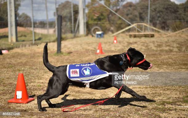 This photo taken on August 8 2017 shows black Labrador Oriana the service dog of John Hume a former Australian navy veteran who fought in the Vietnam...
