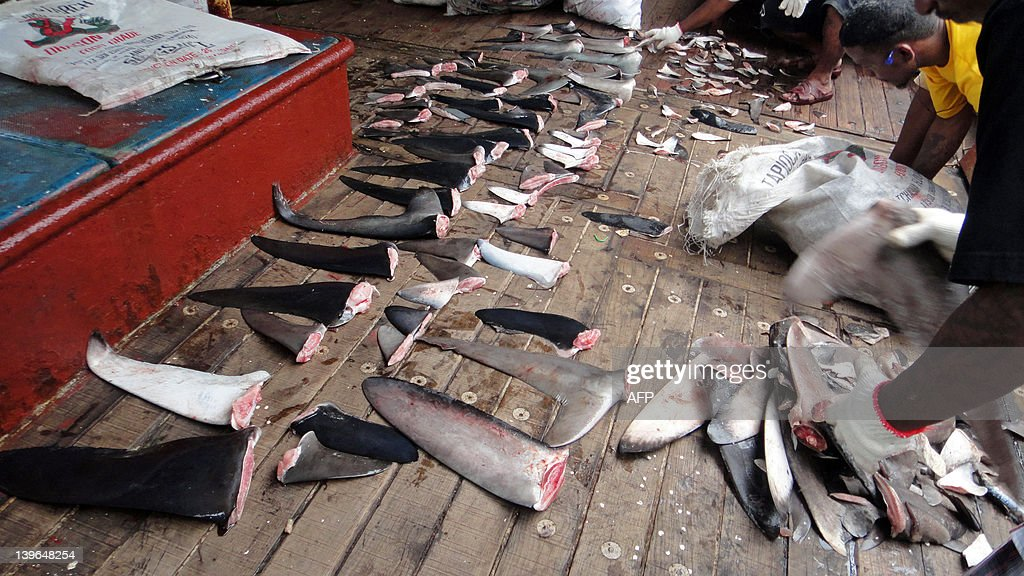 This photo taken on December 1, 2011 shows Marshall Islands law enforcement personnel on a longline fishing vessel sorting through hundreds of kilograms of confiscated shark fins, in the Marshall Islands territory's waters. The Marshall Islands has fined a Japanese-operated fishing vessel 125,000 USD for violating a ban on shark fishing, officials said, in the first levy of its kind in the territory's waters. The Marshall Islands Marine Resources Authority said the fine was the first imposed since the introduction of a ban on trading shark fins across its vast waters late last year.