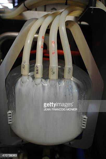 This photo taken on February 18 2014 shows a detail of a robotised milking system at a hightech dairy farm in in Val d'Ize western France with tubes...