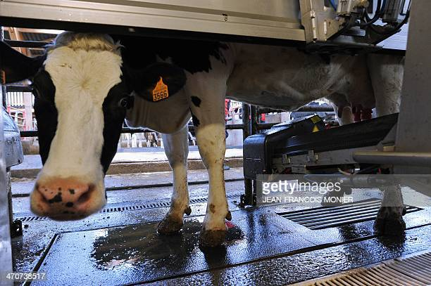 This photo taken on February 18 2014 shows a Prim'Holstein cow being milked by a robotised milking system at a hightech dairy farm in in Val d'Ize...