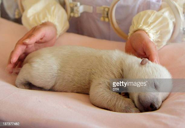 This photo taken on January 17 2012 shows a zoo keeper attending to a newborn polar bear cub at the Ocean Aquarium of Penglai in Yantai in east...