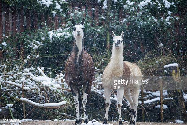 This photo taken on January 21 2016 shows two llamas standing as snow falls at a zoo in Hangzhou east China's Zhejiang province Schools have been...