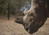 This photo taken on January 27 2015 shows a northern white female rhinoceros named Najin one of only five members of the subspecies left on the...