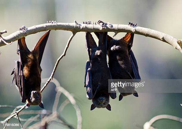 This photo taken on July 20 2011 shows fruit bats as they hang from a tree in Gayndah South Eastern Queensland Horses at a number of Queensland and...