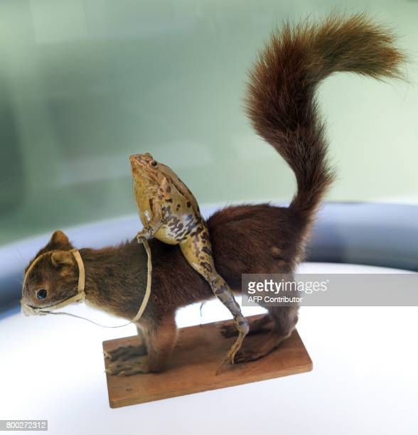 This photo taken on June 22 2017 shows a model of a frog riding a squirrel at the Frog Museum in EstavayerleLac western Switzerland The museum shows...