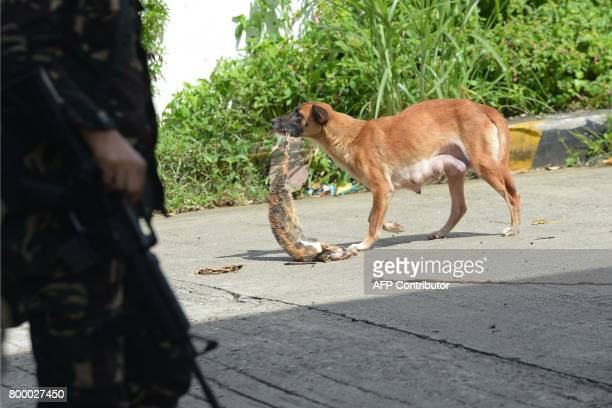 This photo taken on June 22 2017 shows dog dragging the carcass of a dead cat past a Philippine soldier near the frontline in Marawi on the southern...