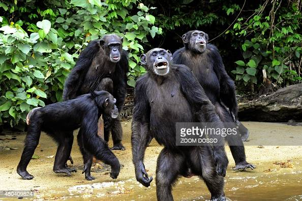 This photo taken on June 29 2015 shows the feeding of chimpanzees from Monkey Island a celebrated colony of former research lab captives on an atoll...