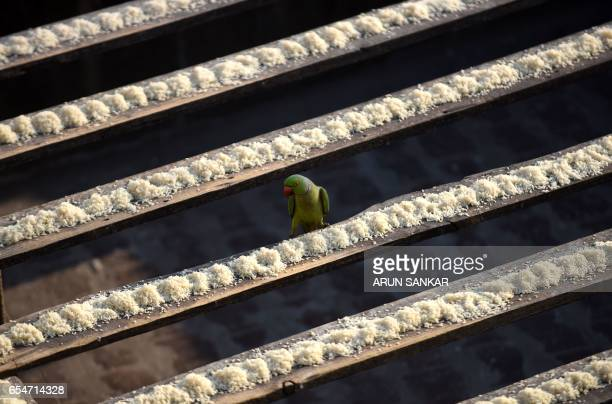 This photo taken on March 17 2017 shows a parakeet arriving to eat bird feed on the roof of Indian camera technician and parakeet enthusiast Joseph...