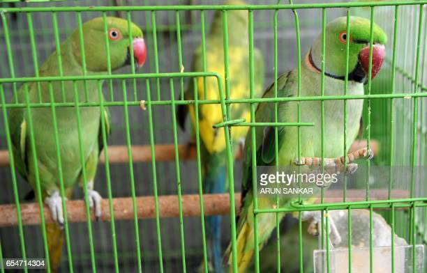 This photo taken on March 17 2017 shows injured parakeets kept in a cage as they recover in the Indian camera technician and parakeet enthusiast...