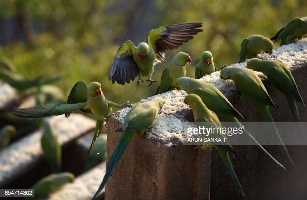 This photo taken on March 17 2017 shows parakeets eating bird feed on the roof of Indian camera technician and parakeet enthusiast Joseph Sekar's...