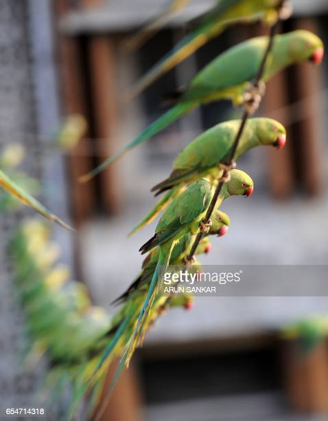 This photo taken on March 17 2017 shows parakeets waiting to be given food on the roof of Indian camera technician and parakeet enthusiast Joseph...