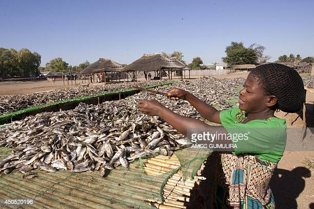 This photo taken on May 18 shows A Malawian woman puts fish out to dry on the shores of Lake Malawi near the Makawa Fishing Village in the Lake side...