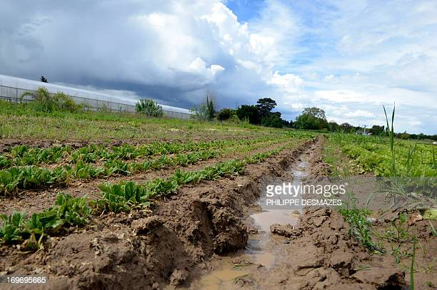 This photo taken on May 29 2013 in Limas near Lyon shows bunches spinach undeveloped because of catastrophic weather in the region In his cultivation...