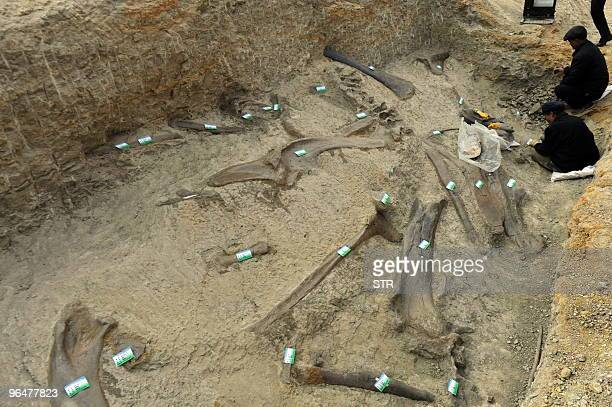 This photo taken on November 30 2009 shows Chinese archeologists excavating dinosaur fossils at a site in Zhucheng known as 'dinosaur city' in...