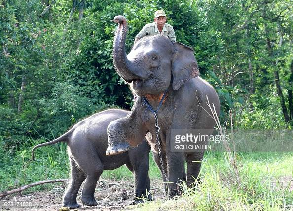 This photo taken on November 8 2016 shows a ranger atop a patrol elephant with her calf in Way Kambas National Park where human settlements border a...