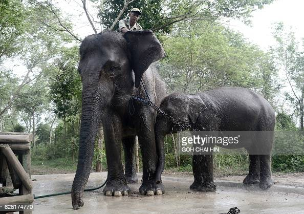 This photo taken on November 8 2016 shows a ranger giving a shower to a patrol elephant and her calf in Way Kambas National Park where human...