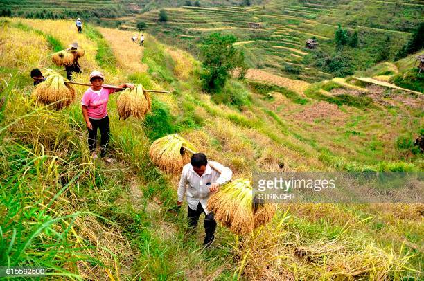 This photo taken on October 18 2016 shows Chinese farmers carrying crops from their paddy fields in a village in Congjiang county southwest China's...