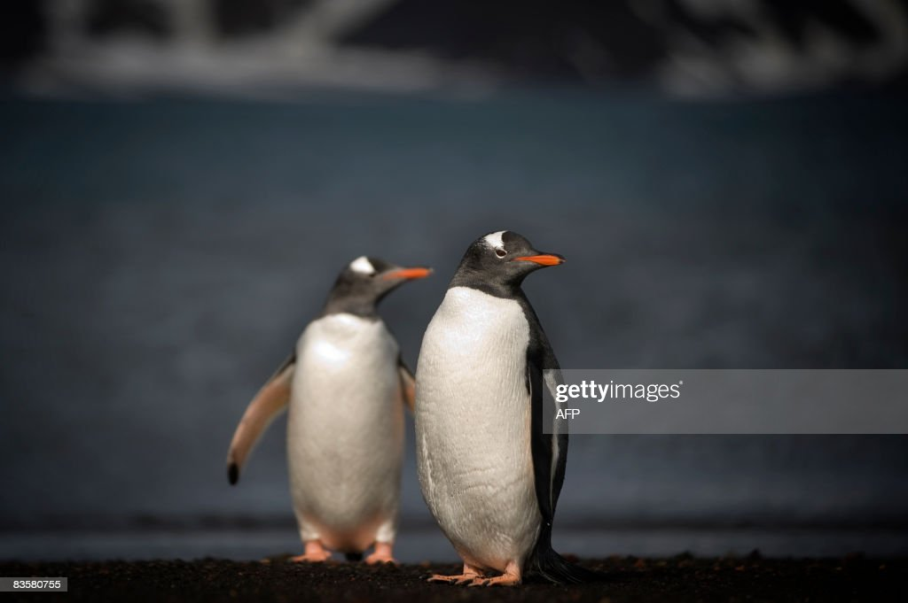 This photo taken on October 28, 2008 shows Gentoo penguins on the shore of Deception Island, Antarctica.