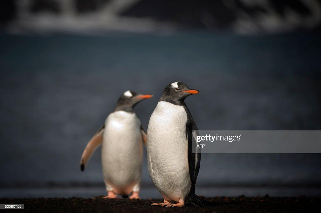 This photo taken on October 28, 2008 shows Gentoo penguins on the shore of Deception Island, Antarctica. AFP PHOTO / MARTIN BUREAU