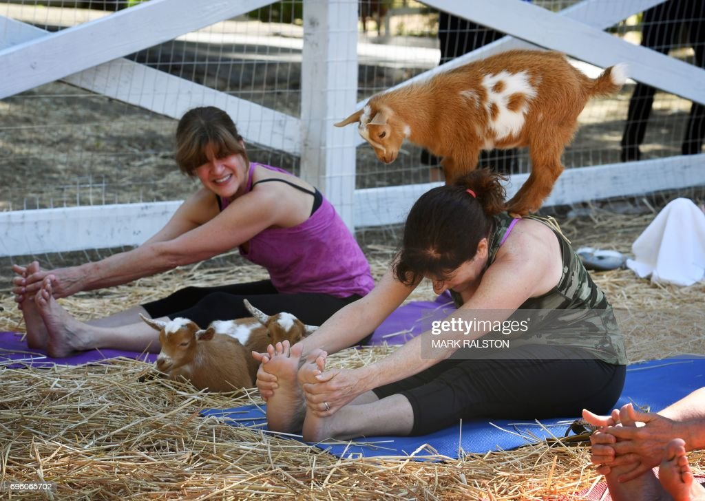 This photo taken on on June 4, 2017 shows students struggling to maintain their concentration as goats get close during a 'Goat Yoga' class organized by Lavenderwood Farm in Thousand Oaks, California. Welcome to 'Goat Yoga,' the latest fitness craze sweeping the United States, where people are lining up for the popular classes that leave everyone not only saying 'namaste' but in stitches. The new workouts taking place on farms across the country involve Nigerian Dwarf goats -- miniature goats of West African origin -- roaming about as yogis practice their exercise routines. PHOTO / Mark RALSTON