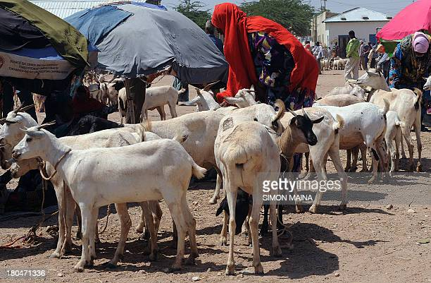 This photo taken on September 11 shows a woman looking through a herd of goats at the biggest livestock market in Somaliland known as Hargeisa...