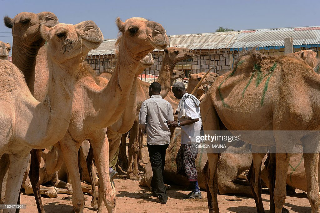 This photo taken on September 11 shows traders walking past a herd of camels at the biggest livestock market in Somaliland known as Hargeisa...