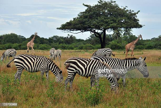 This photo taken on September 17 2011 shows giraffes and zebras grazing at the Calauit island wildlife sanctuary in Busuanga Palawan province in the...