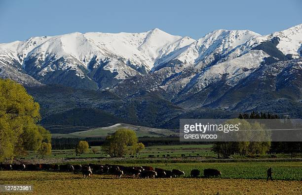 This photo taken on September 25 2011shows a farmer leading cows across a field in front of snow capped mountains near Hanmer Springs on New...