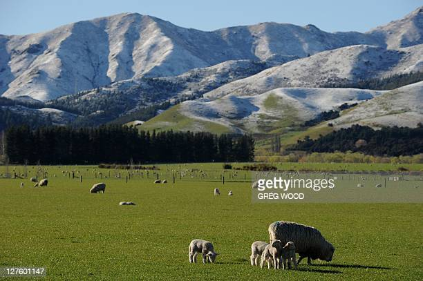 This photo taken on September 25 2011shows lambs in front of snow capped mountains near Hanmer Springs on New Zealand's South Island Hanmer Springs...