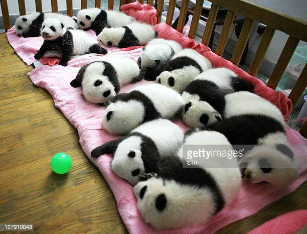 This photo taken on September 26 2011 shows a group of giant panda cubs napping at a nursery in the research base of the Giant Panda Breeding Centre...